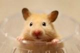 1 - hamster